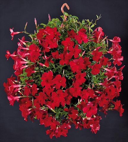p tio vaso dipladenia sundaville pretty red. Black Bedroom Furniture Sets. Home Design Ideas